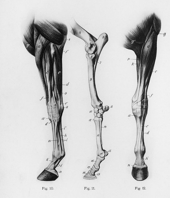 Comparative Anatomy – Horses vs Humans (Front Legs)